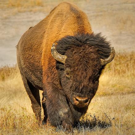 Roam with Buffalo